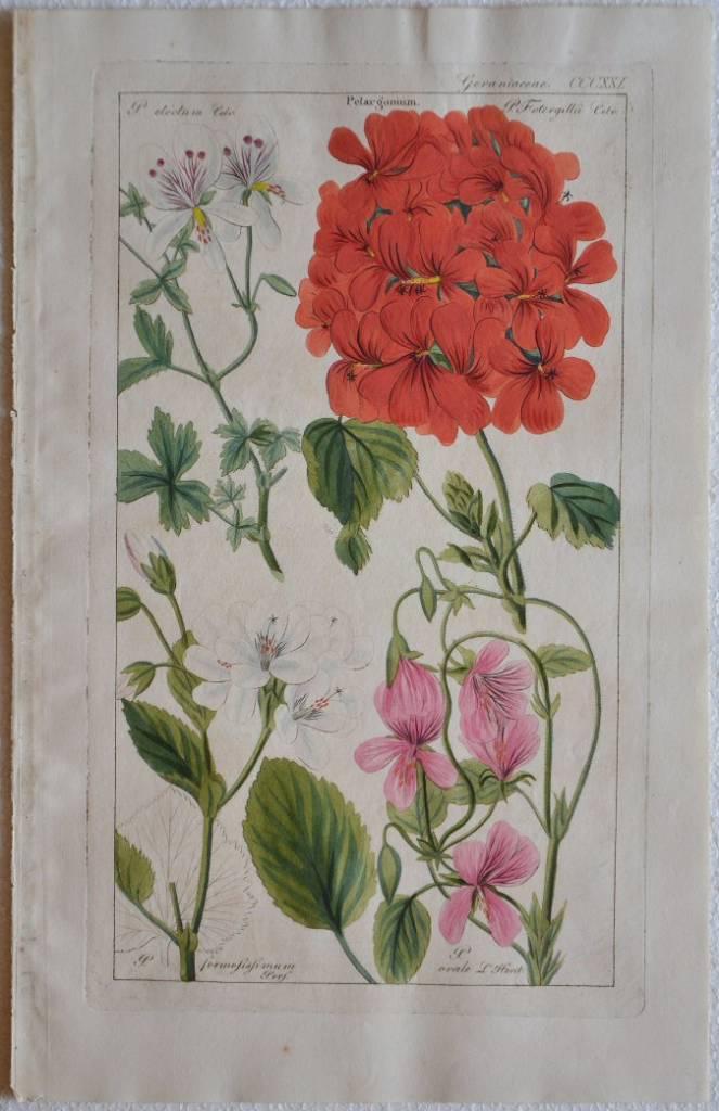 Geraniaceae – Pelargonium