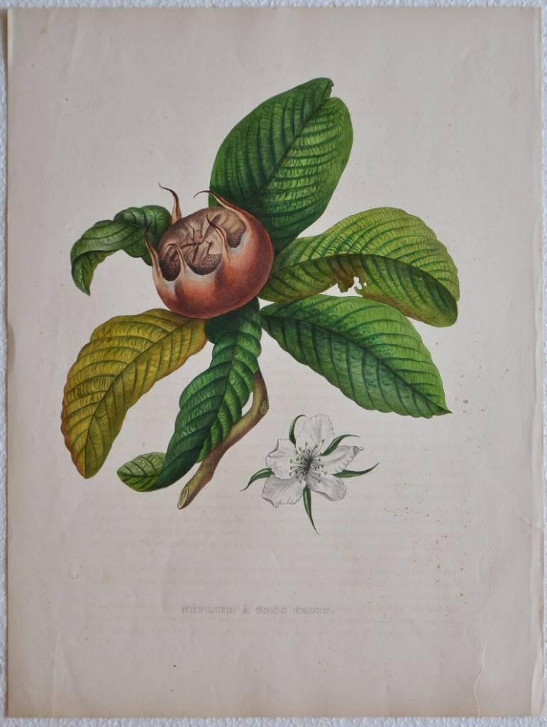 Neflier à gros fruit