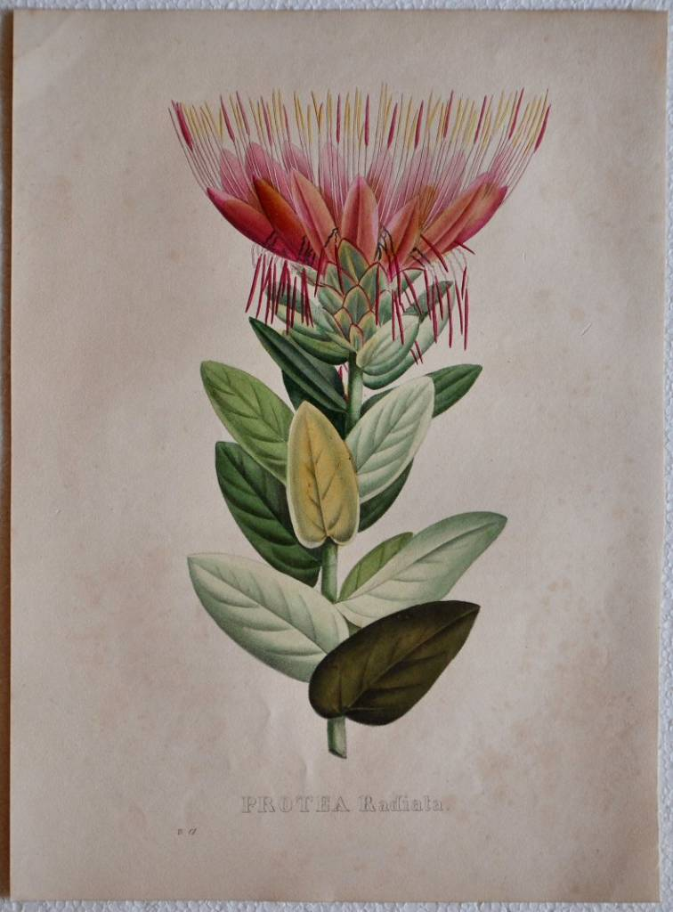 Protea Radiata