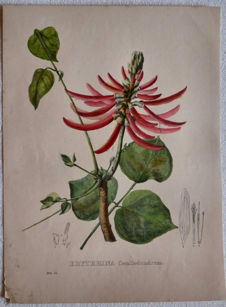 Erythrina Corallodendrum
