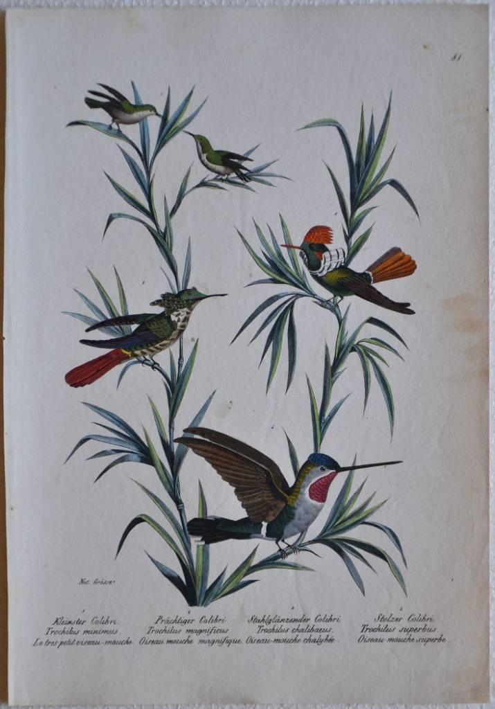 Kleinster Colibri / Prachtiger Colibri / Stahlglanzender Colibri / Stolzer Colibri