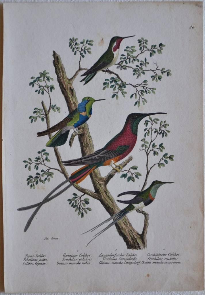 Topas Colibri / Gemeiner Colibri / Langsdorfischer Colibri / Geschilderter Colibri