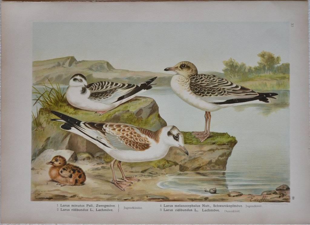 Larus Minutus Pall – Larus melanocephalus – Schwarzkopfmove